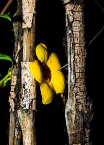 Yellow Bell Flower Taytay, Puerto Princessa City, Palawan Photo by Christian D. 26June2015