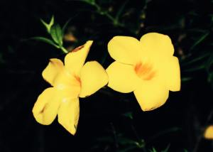 Yellow Trumpet Flowers Taytay, Puerto Princessa City, Palawan Photo by Christian D. 26June2015